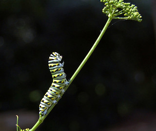 Caterpillar assumes a triumphant posture after eating all my parsley. | by Blancs-Manteaux