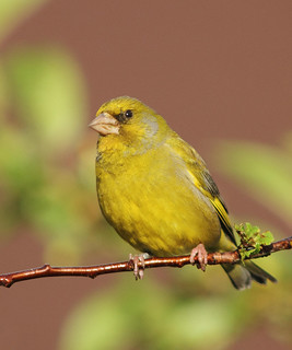 Greenfinch | by alison brown 35
