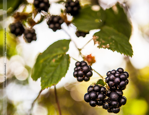 [230/365] Blackberries [Explored] | by Rich Jankowski