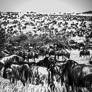 Great Migration of wildebeest | by Millzero Photography