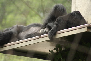 Siamang | by Columbia Heights Climber