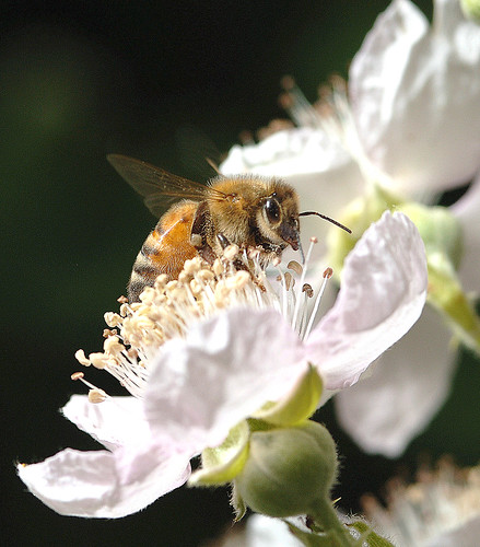 honeybee186LK | by Oregon State University