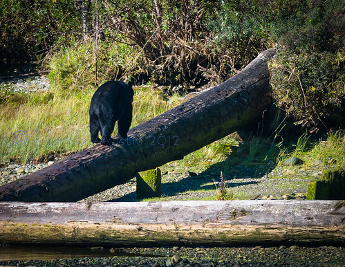 River Bear-077.jpg | by ausmc_1