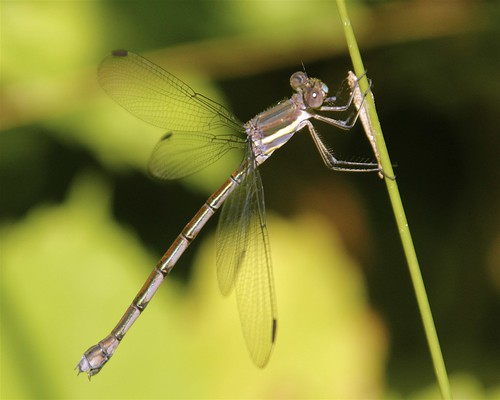 Female Great Spreadwing Damselfly | by milesizz