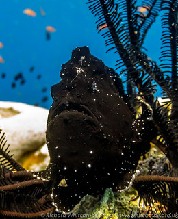 Black with white spotted Frogfish sits on top of a coral pinnacle | by WhitcombeRD