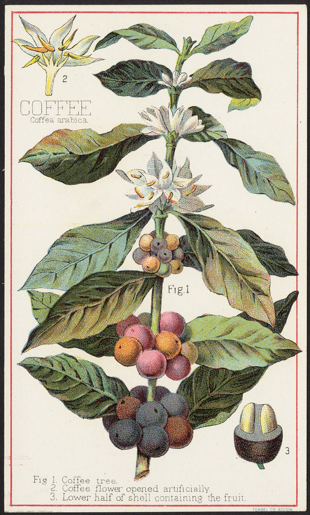 This is a picture of Unforgettable Coffee Plant Drawing