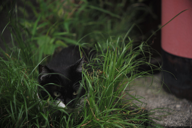 Cat of the bush