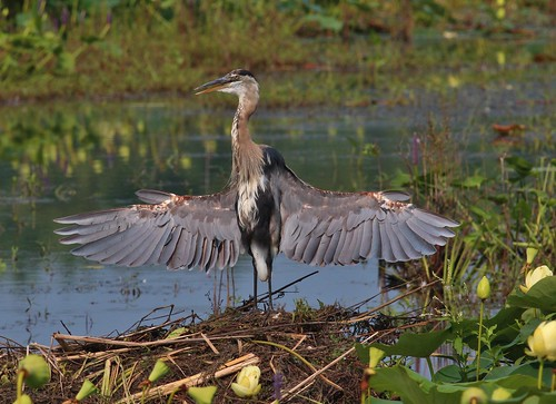 Great blue heron getting some sun | by Thank you for 1.5 Million views
