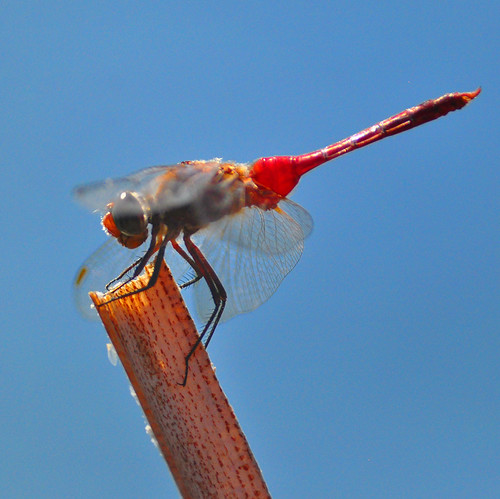 Red Dragonfly at Santee Lakes | by Bill Gracey 15 Million Views