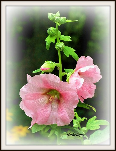 Pink Hollyhocks | by clickclique