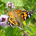 Painted lady on a flower