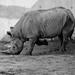 Black rhino 08