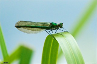 Female Banded Demoiselle | by bbusschots