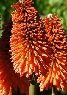 Orange Knifophia northiae | by Clara Johnson