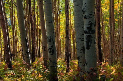 Colors in the Aspen Forest | by efiske