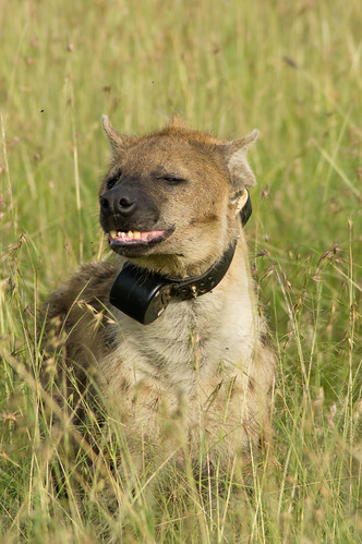 Smiling Hyena | by Greg McMullin