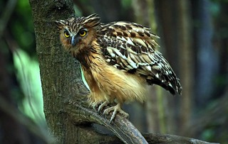 IMG_9092 Buffy Fish Owl..on Explore | by EricBronson's Photography