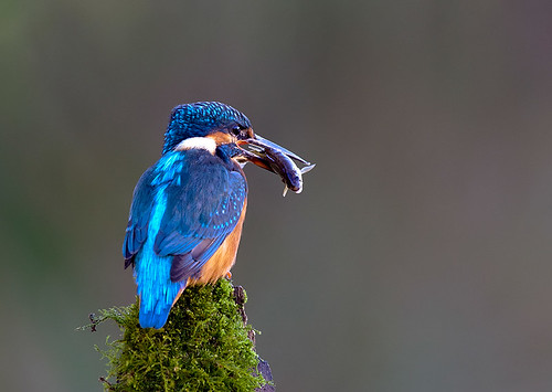 kingfisher | by markoh2011