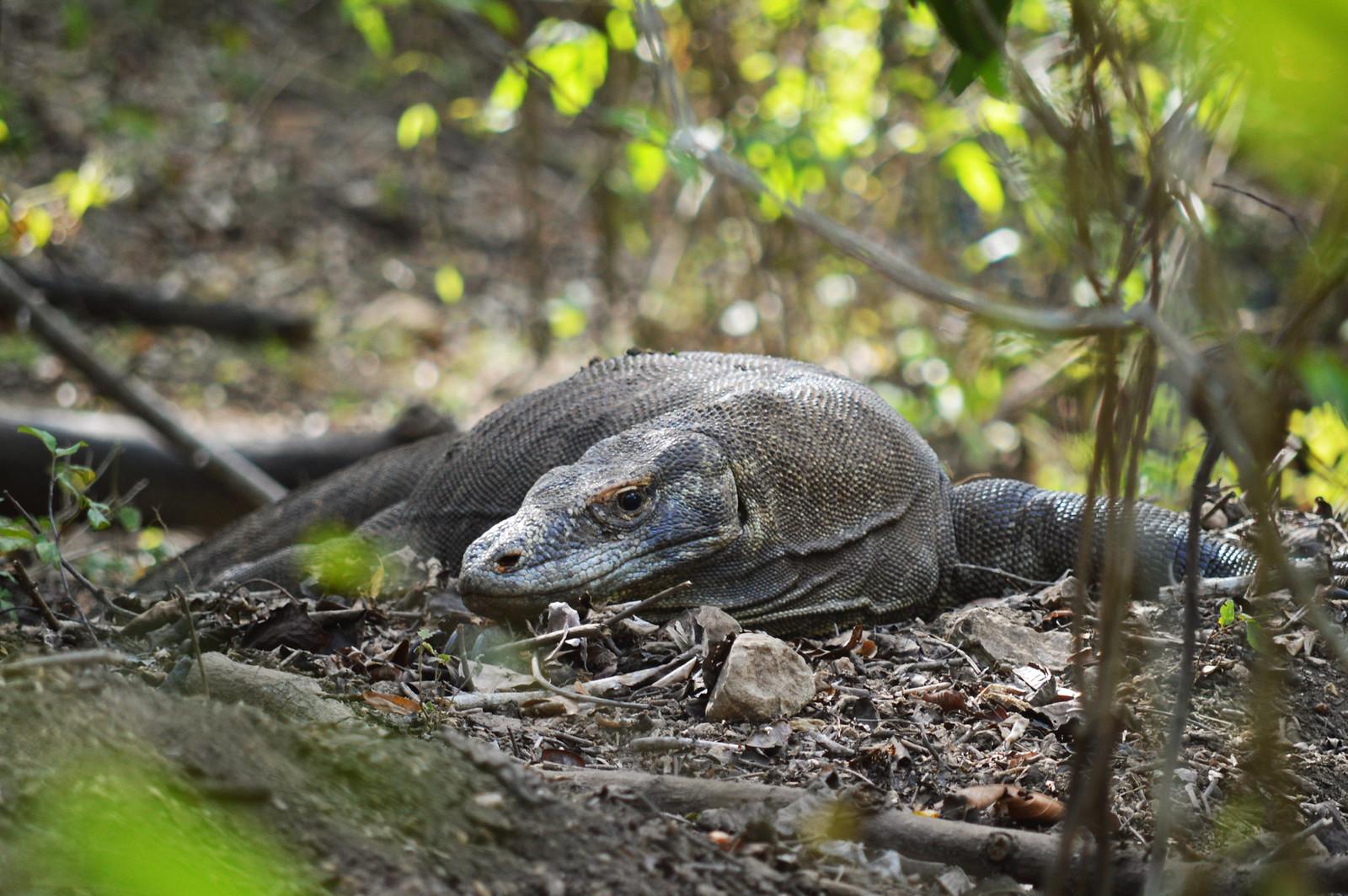Komodo Dragon on Rinca Island (Komodo National Park)