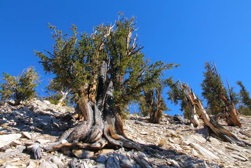 IMG_0319 Great Basin Bristlecone Pine at Methuselah Walk