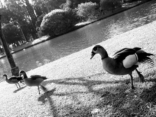 Patos no ibirapuera | by Sousasbruno
