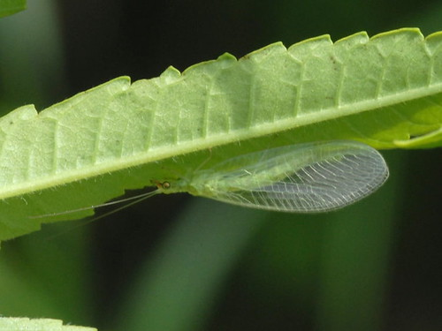 Green Lacewing, Chrysoperla plorabunda | by Herman Giethoorn