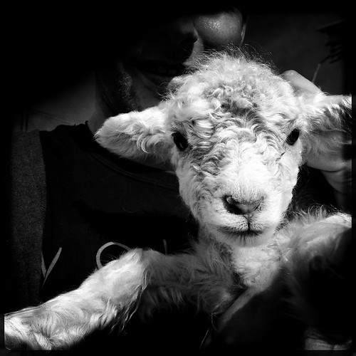 Lamb | by social_advances