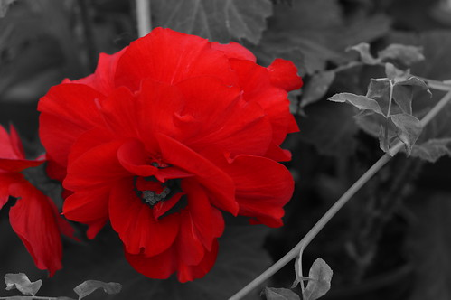 Red Begonia | by MelRoseJ
