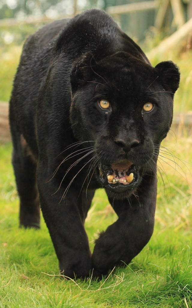 Black Jaguar (Explore) | Wildlife Heritage Foundation | Flickr - photo#20