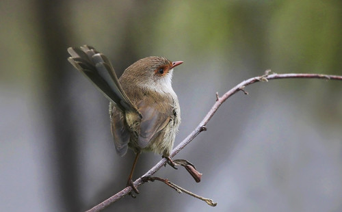 Superb Fairy-wren : Look this way please . . . | by Clement Tang **busy**