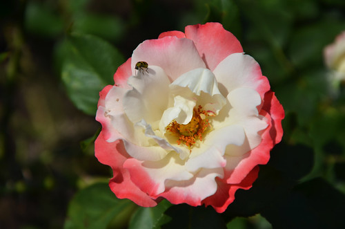 Rose 'Jean Mermoz' | by Brooklyn Botanic Garden