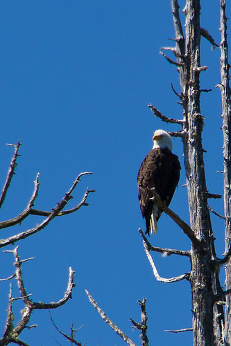 Bald Eagle | by fuerst