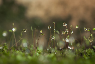 Rain drops and moss sporophytes | by PongsawatD