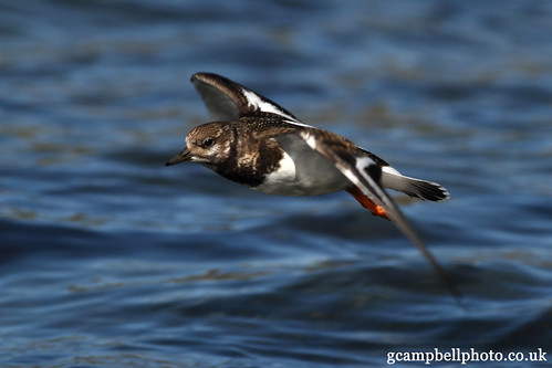 Turnstone (Arenaria interpres) | by gcampbellphoto