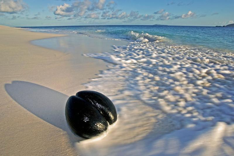 Seme di cocco di mare sulla spiaggia il cocco di mare for Pianta di cocco