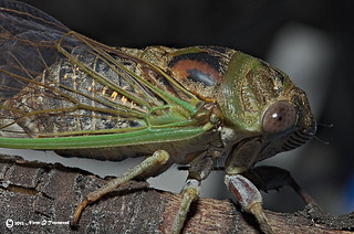_Swamp Cicada R side 1275rwt | by Norm Townsend