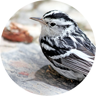 Black & white warbler | by Geninne