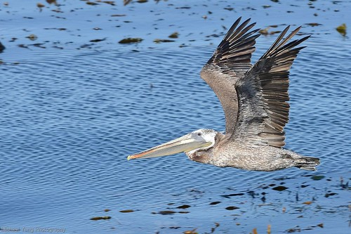Pelican over Monterey Bay | by ottersdontflush