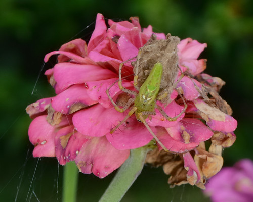 Green Spider on a Flower | by thorntm