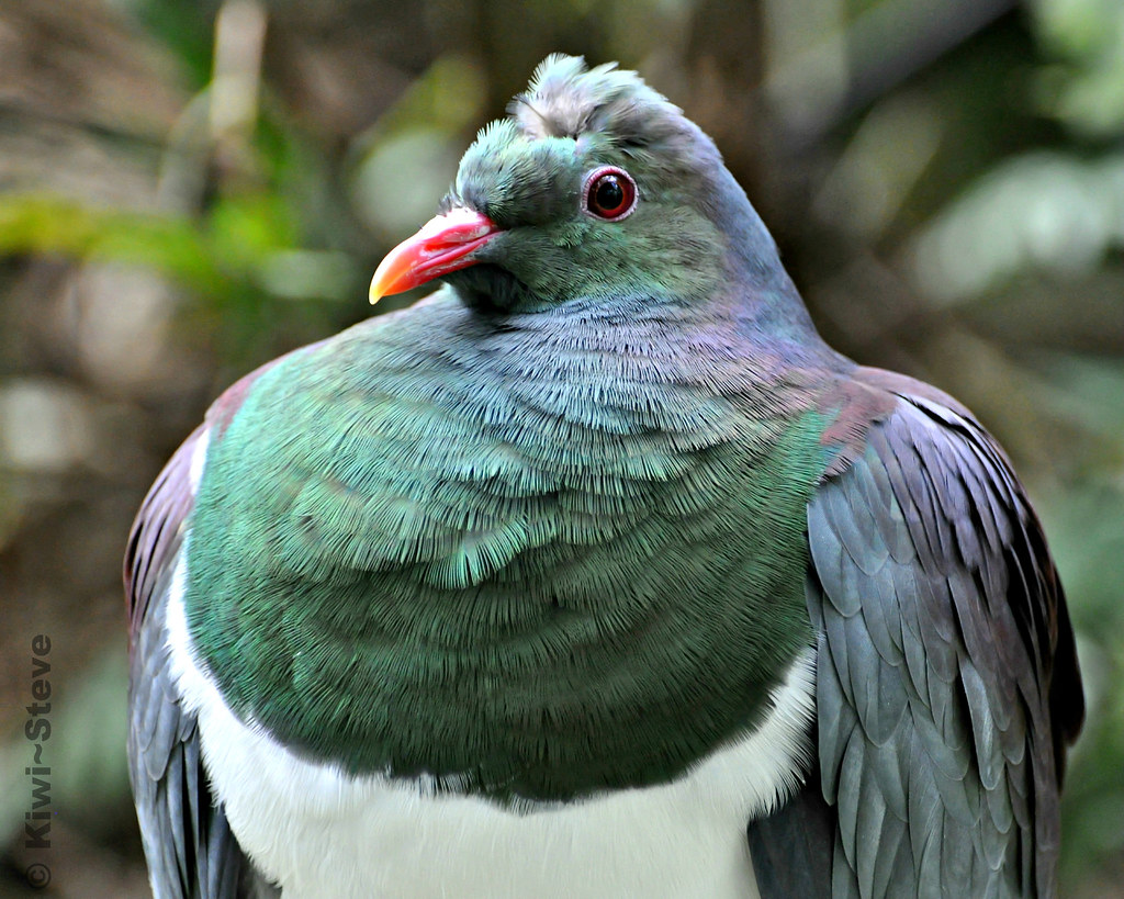 New Zealand Wood Pigeon Kereru The New Zealand Wood