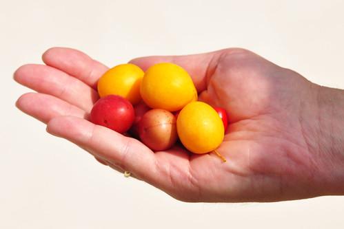 Kirschpflaume Prunus cerasifera Türkenkirsche Därgelkersch gelb rot Mirabellen-ähnlich Därgelkersch-Marmelade Foto: Brigitte Stolle 2016