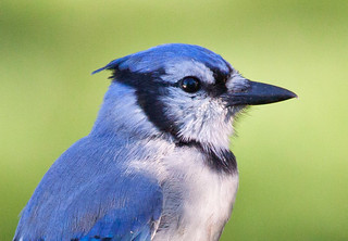 Blue Jay | by Laura Erickson