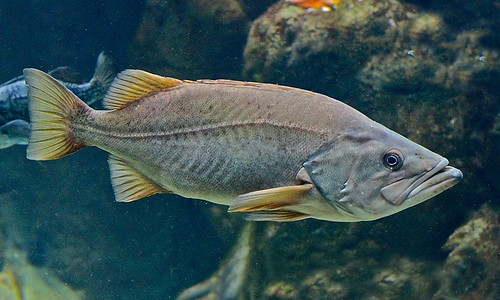 Bococcio Rockfish | by Ron's Aquarium Photos