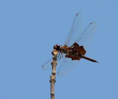 Black Saddlebags | by Dendroica cerulea