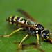 drinking wasp