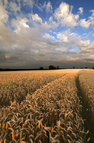 Wheat Field | by Tracey Whitefoot