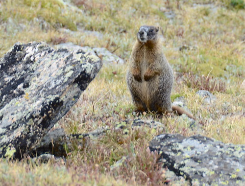 Marmot of the Mountain | by PilotGirl