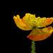 Last poppy of summer