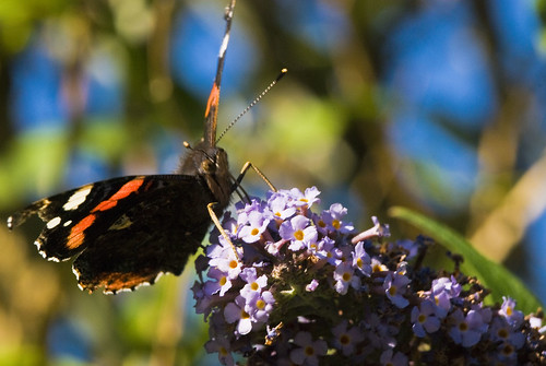 Red Admiral Butterfly | by http://richard-m.myportfolio.com/