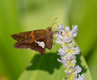 silver spotted skipper | by William Miller 21